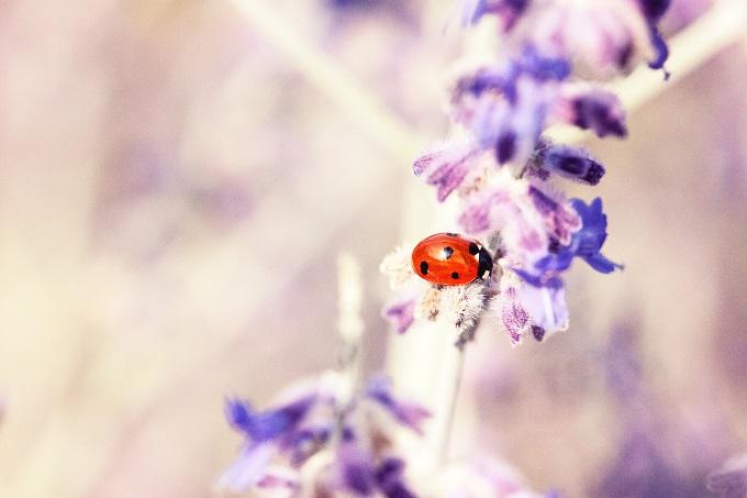 てんとう虫は幸せの象徴,幸運のシンボル